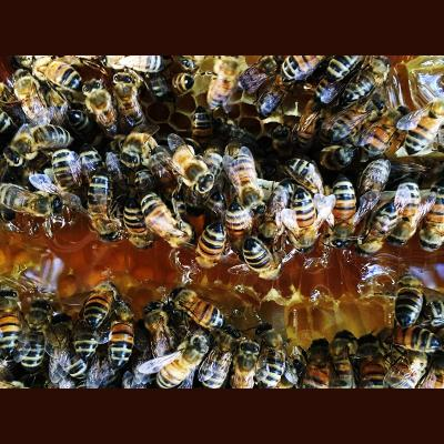 Bee covered honeycomb