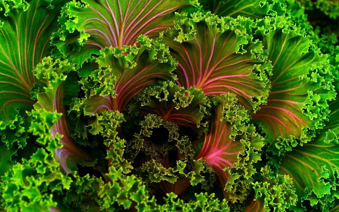 Kale Curly Paradise