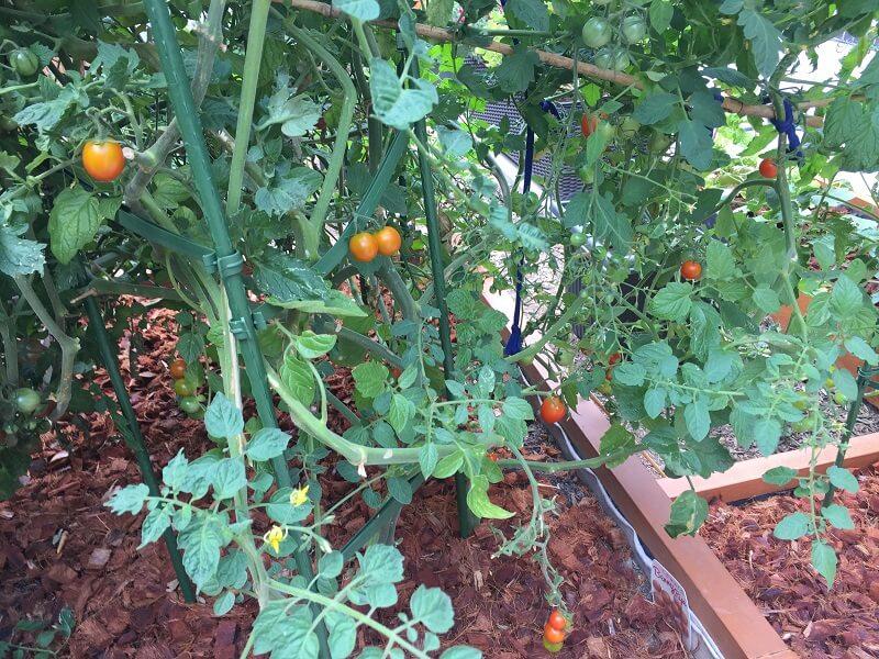 Franco tomatoes