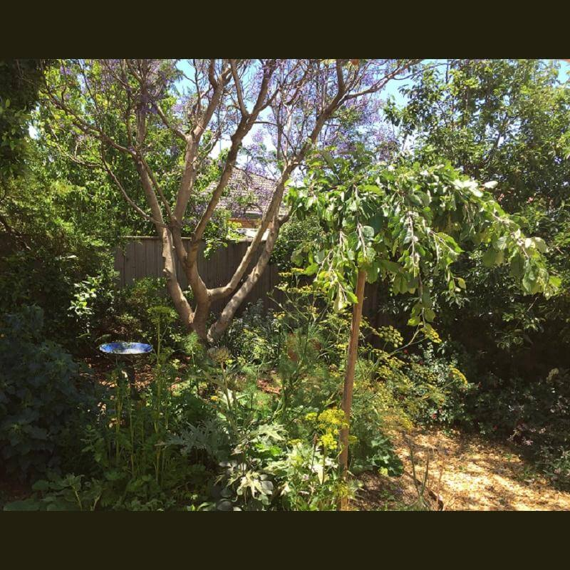 Pruned Jacaranda and Pears 800x634