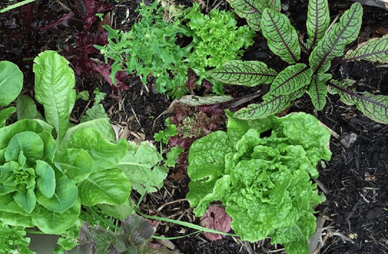 Year round leafy greens