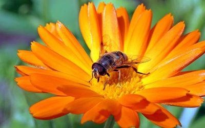 marigold hoverfly 1280x853