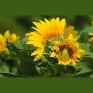 Sunflower - Mammoth, Helianthus annus